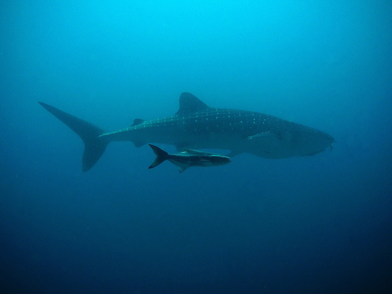 whale shark kobia divers free photo