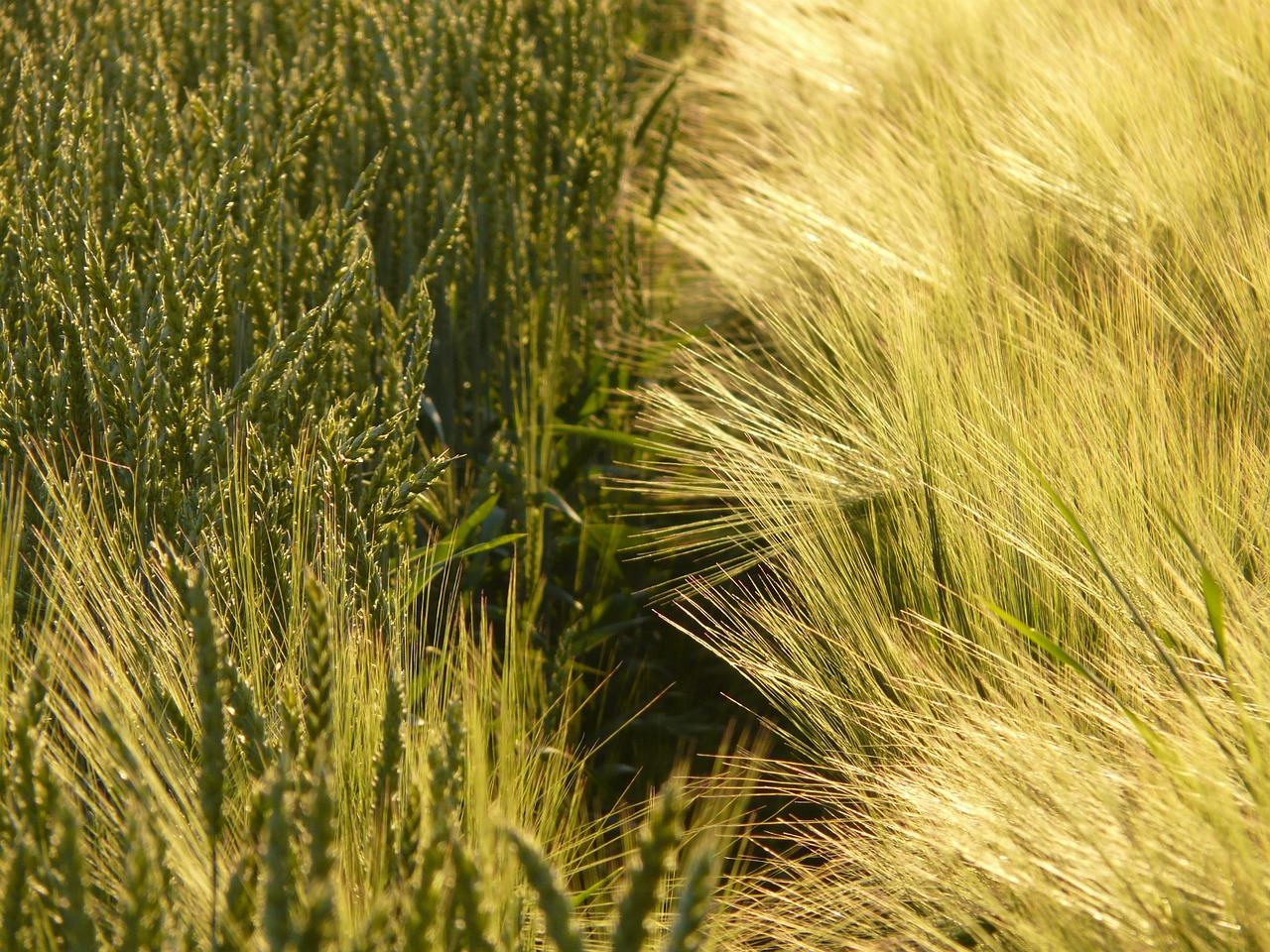 wheat wheat field wheat spike free photo
