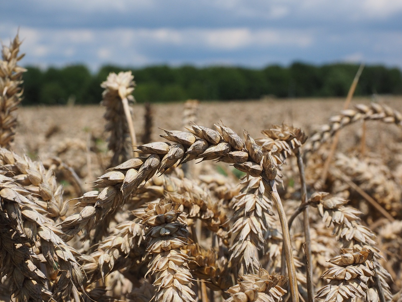 wheat spike wheat cereals free photo