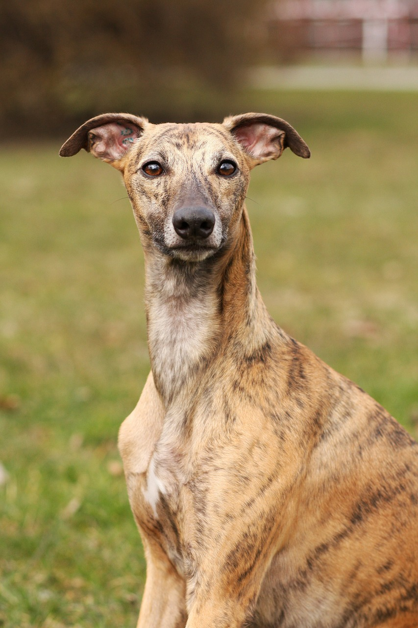 whippet dog canine free photo