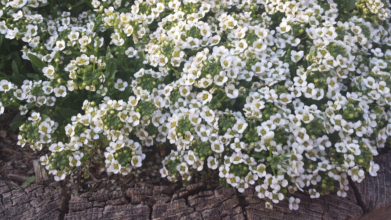 Whiteflowersnaturespringflowering Shrub Free Photo From