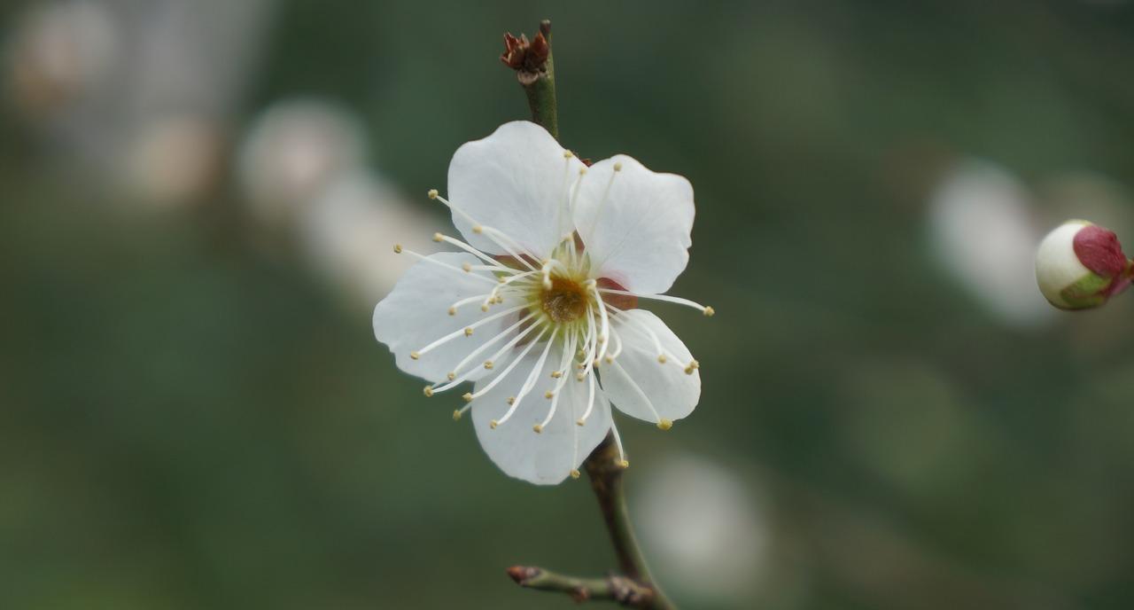 Whiteplum Blossomflowerspringmacro Free Photo From Needpix