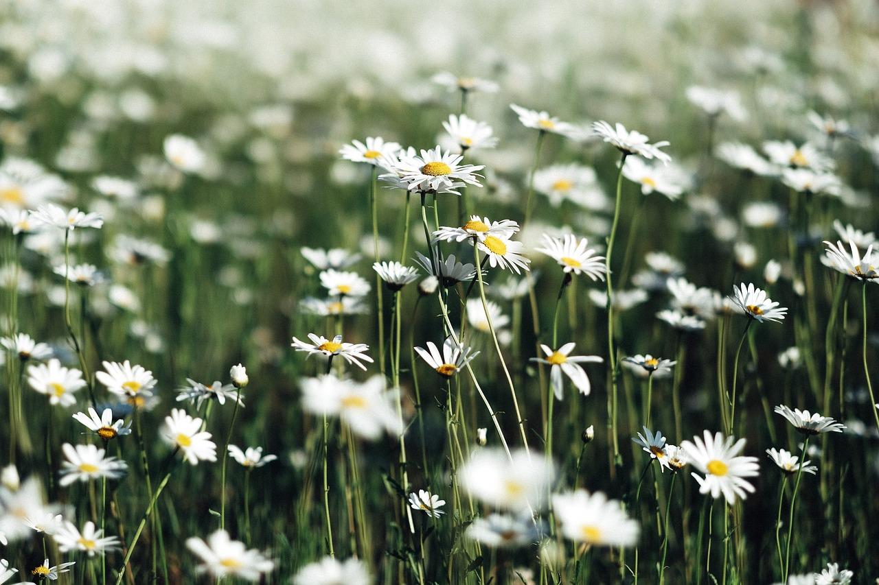 White,flowers,petals,blur,garden - free photo from needpix.com