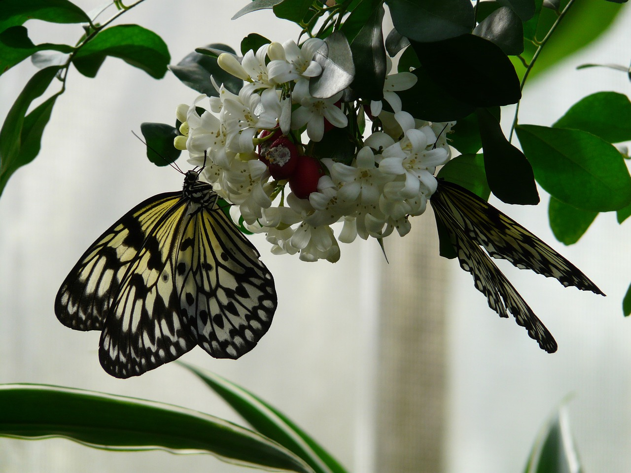 white baumnymphe butterfly idea leuconoe free photo