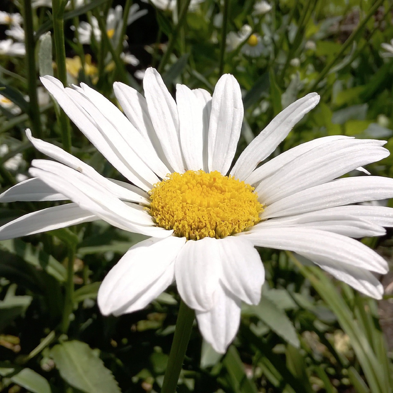 white daisy,pretty white daisy,fresh white daisy,natural white daisy,bright white daisy,free pictures, free photos, free images, royalty free, free illustrations, public domain