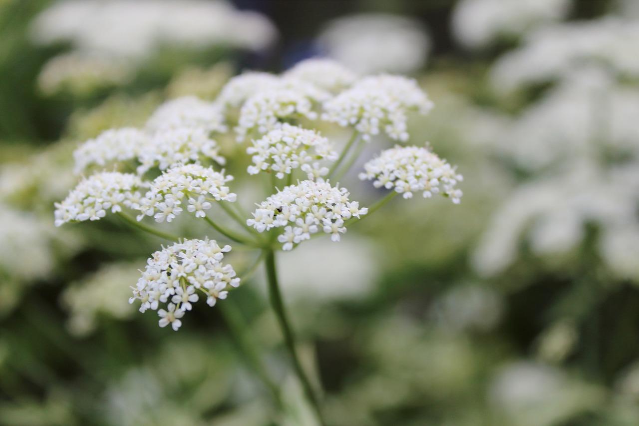 White flowerweedmacro free photo from needpix white flower weed macro mightylinksfo