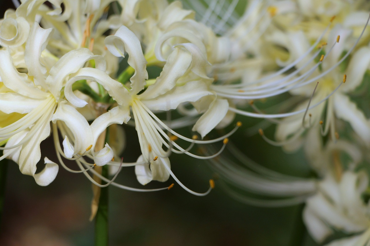 White Flowerbunch Of Flowersnaturepetalsspring Flowers Free