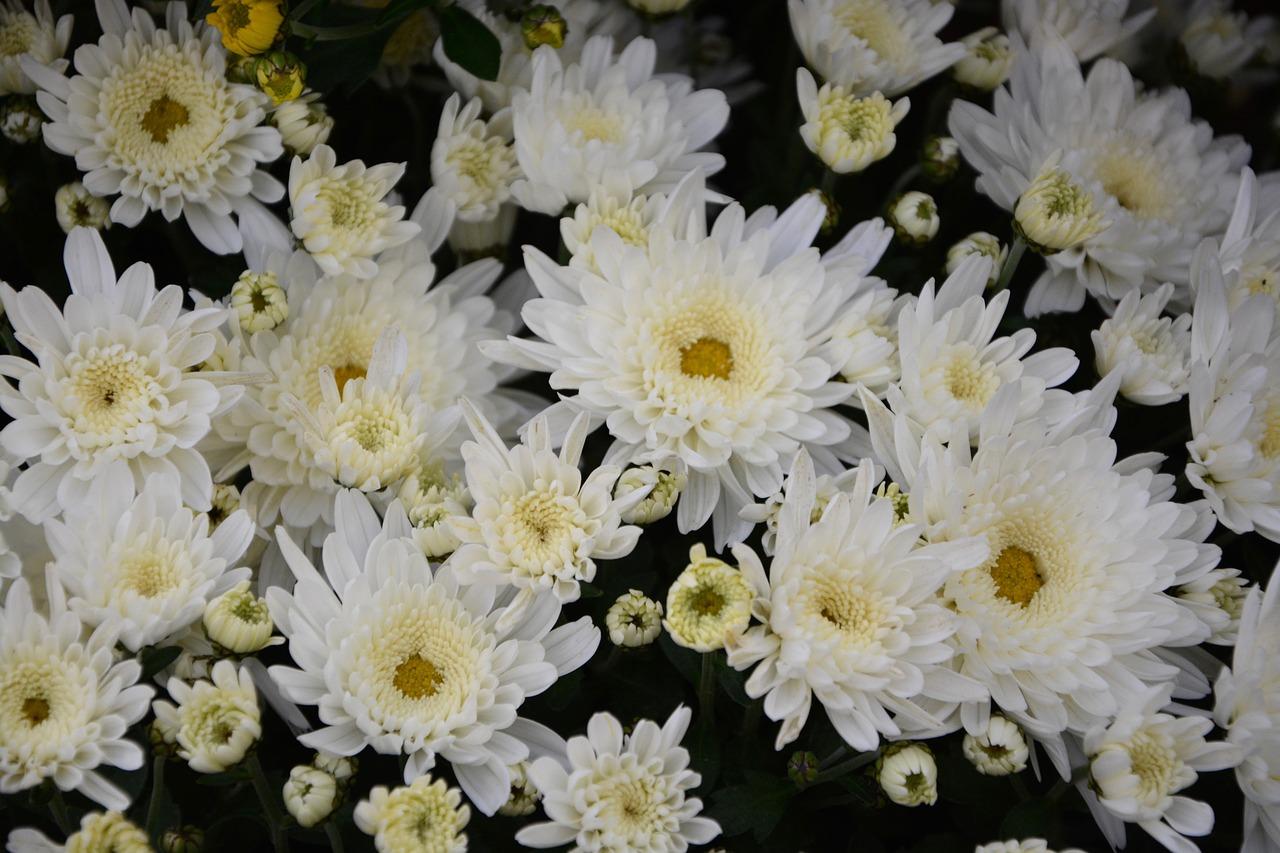 White Flowerswhite Chrysanthemumsflowers Naturemassive Potoffer