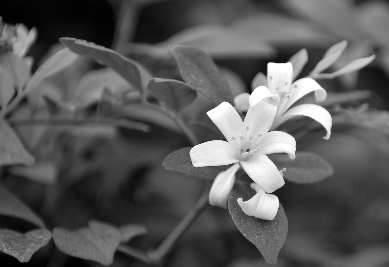 White Flowersvinemonochromeblack And Whitefree Pictures Free