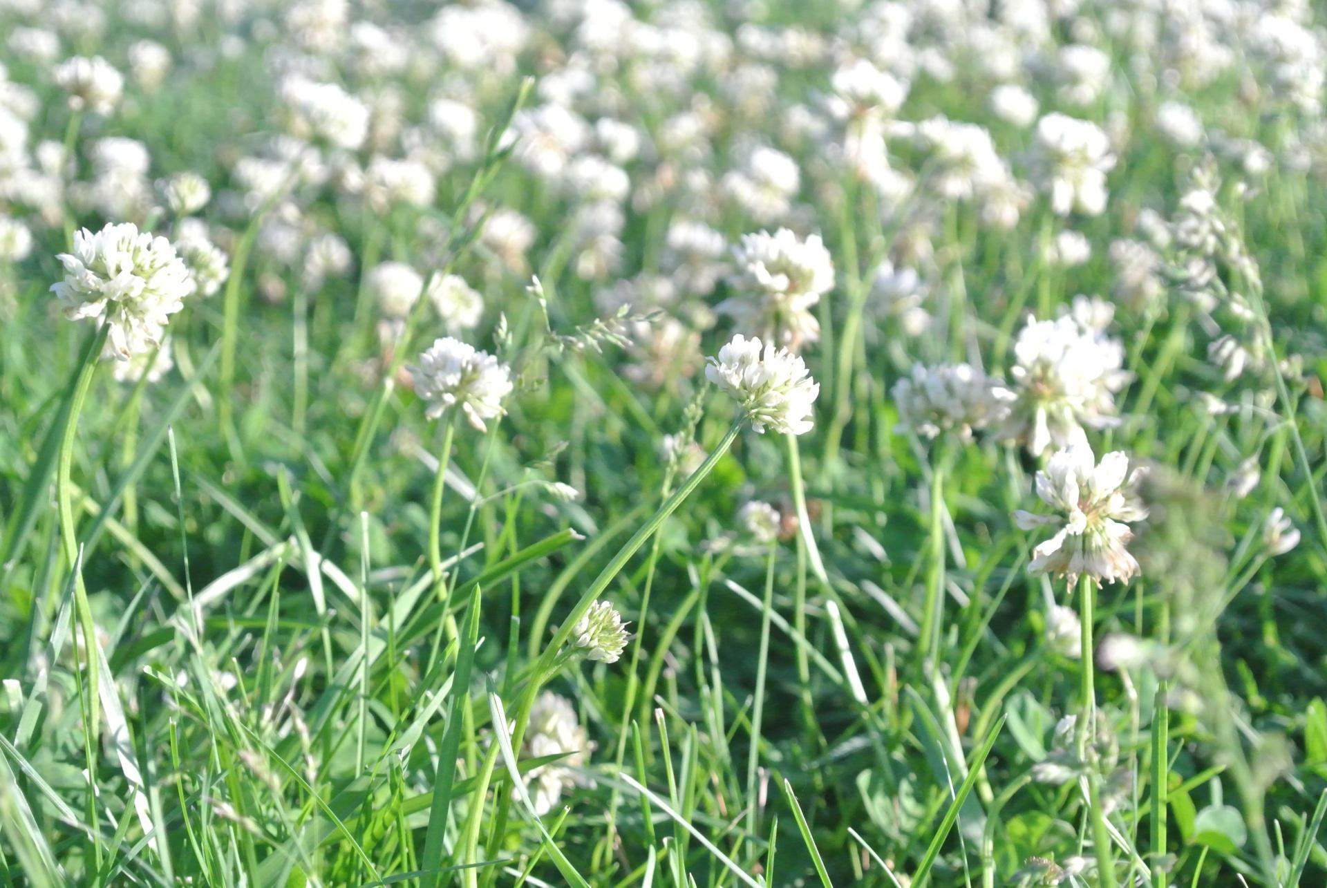 Whiteblossomflowersgrasswhite Flowers In Grass Free Photo From