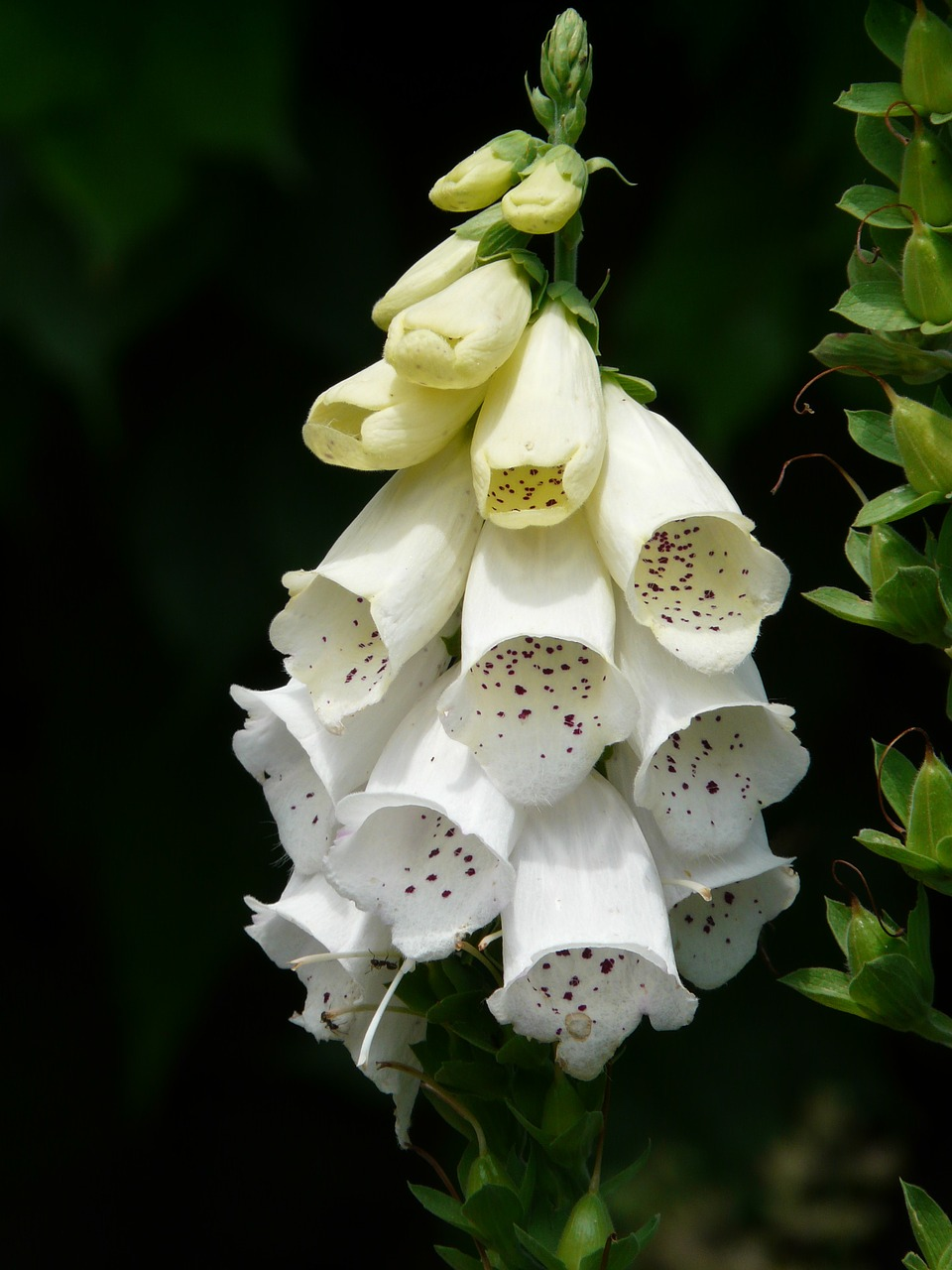 white foxglove thimble medicinal plant free photo