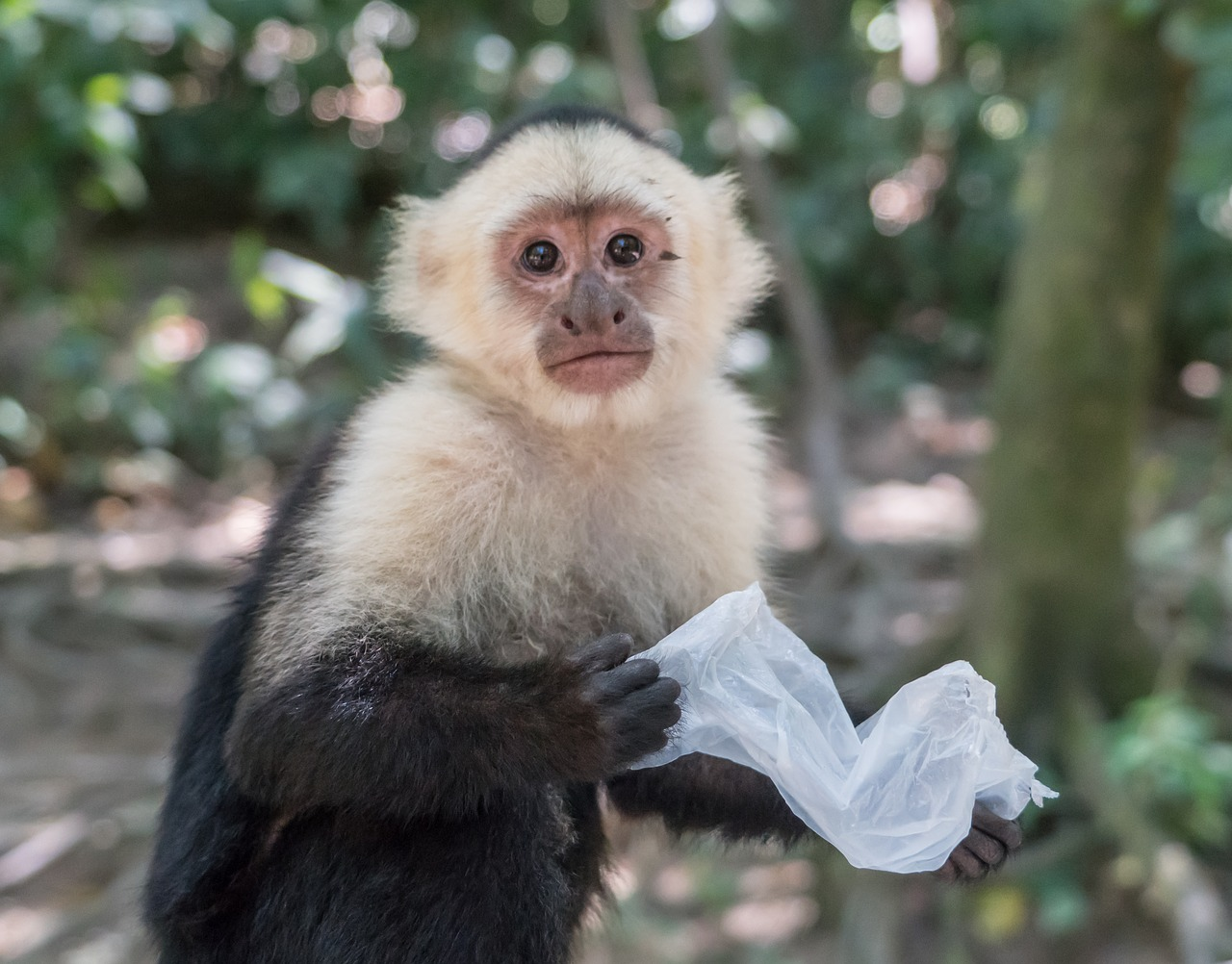 white-headed capuchin monkey mammal free photo