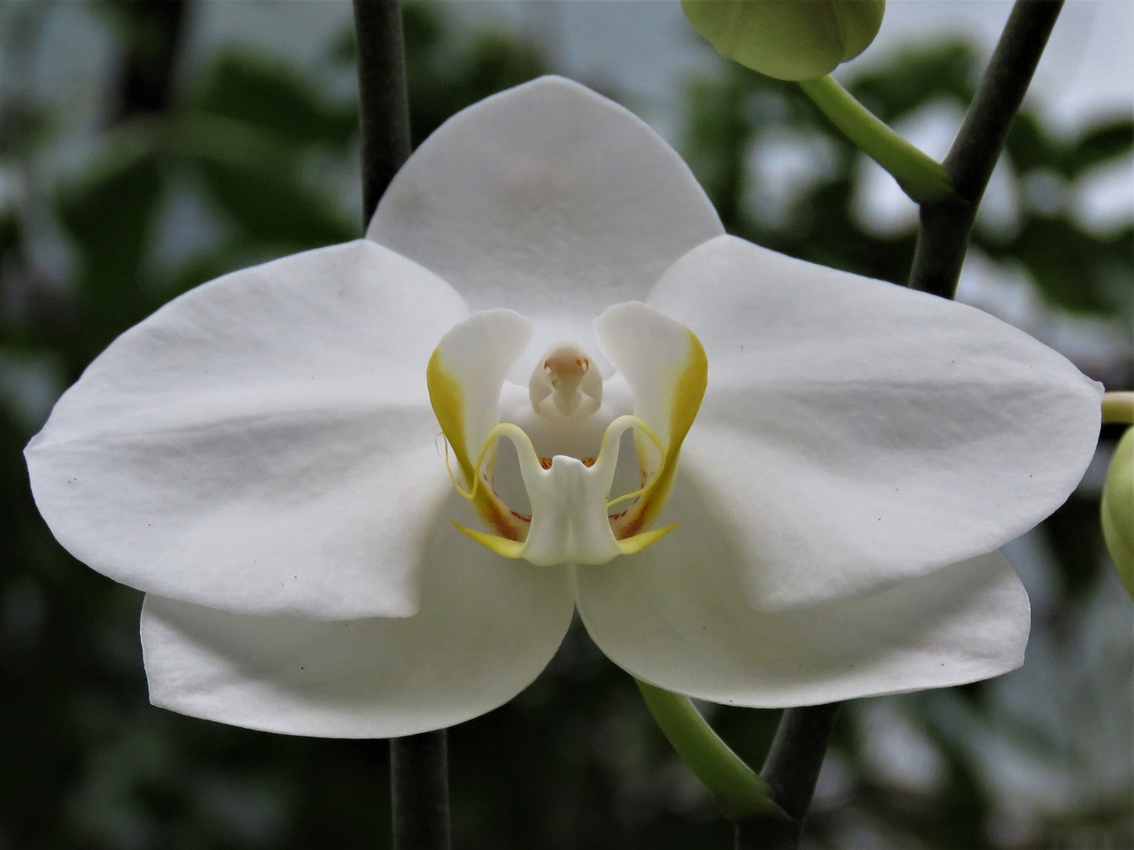 White Orchidtropical Flowergardenorchidfree Pictures Free