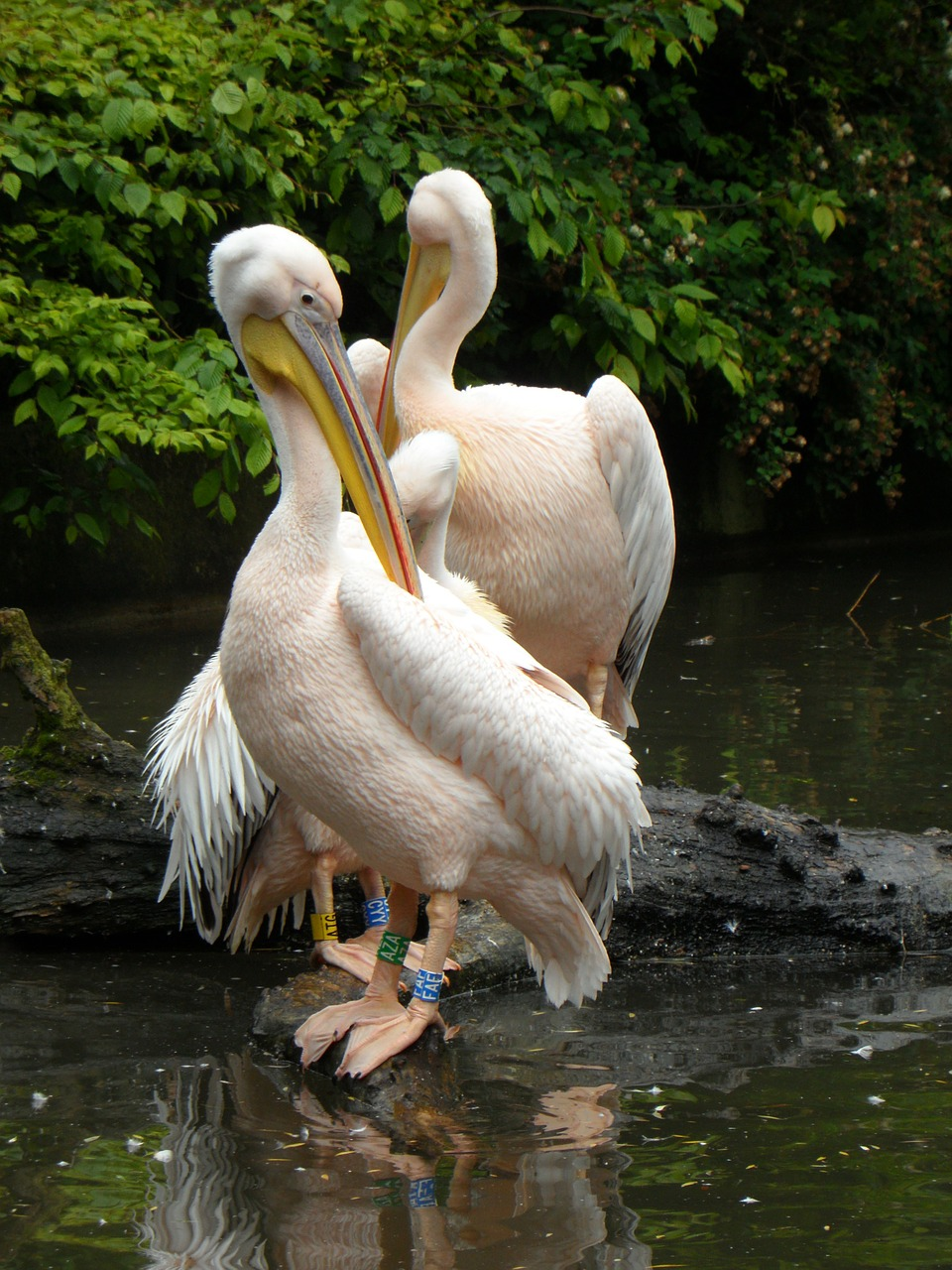 white pelican pink pink pelican free photo