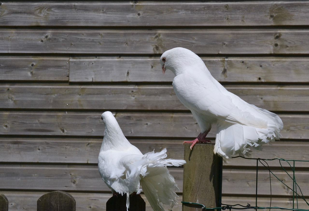 white pigeon  couple  cooing free photo