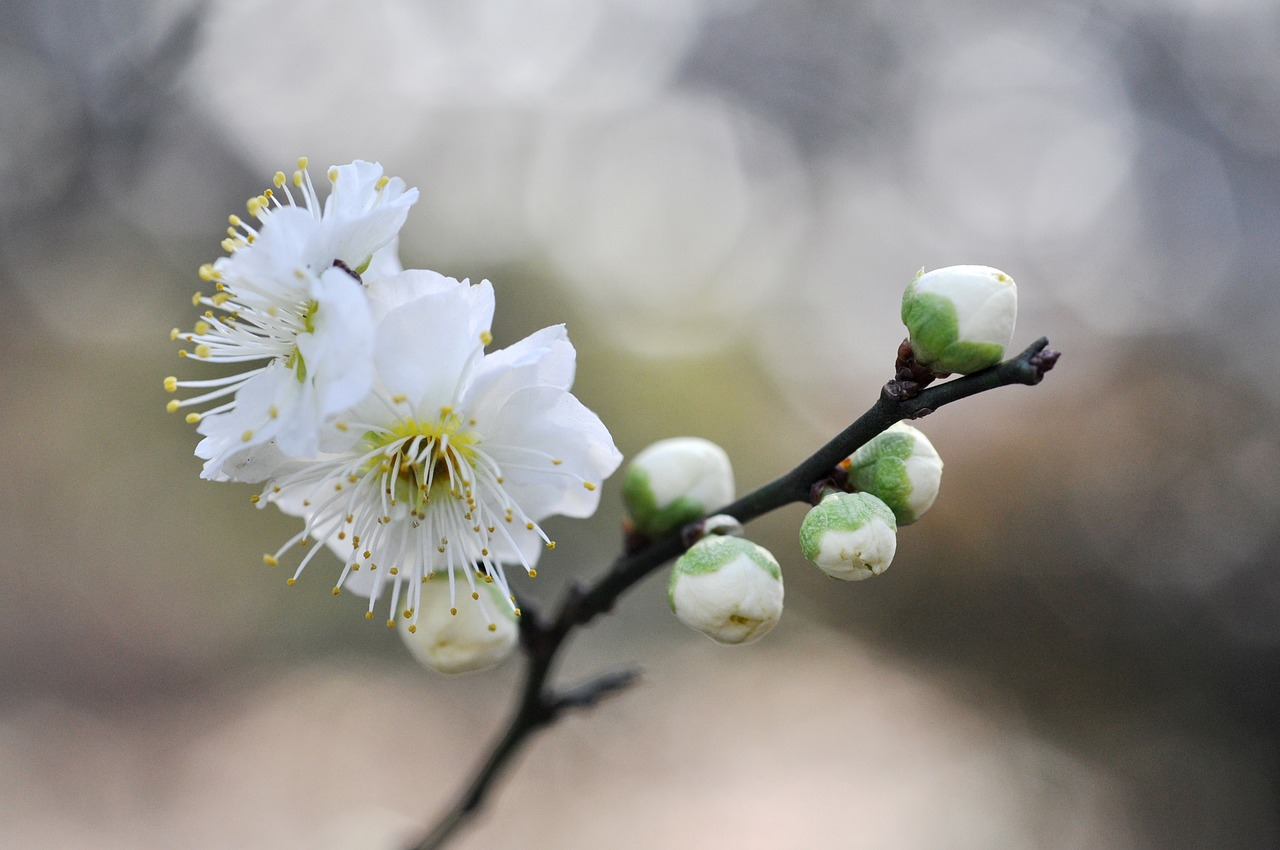 white plum blossoms flowers of early spring plum free photo