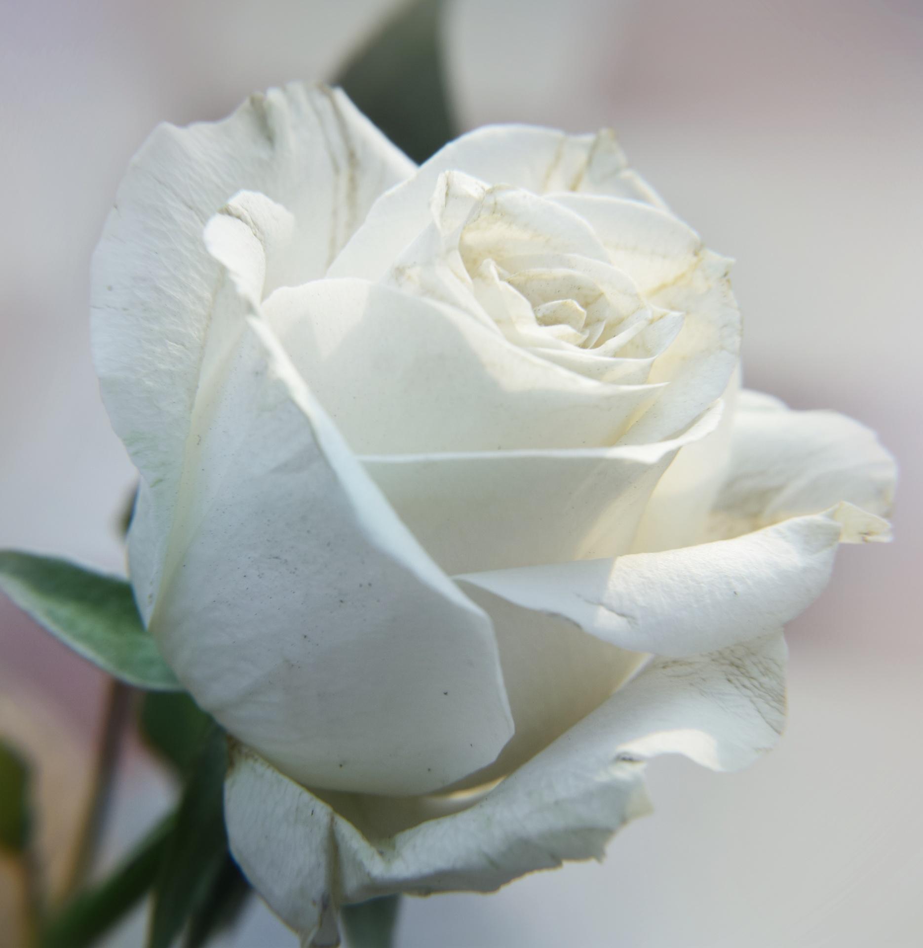 Картинка белое роза