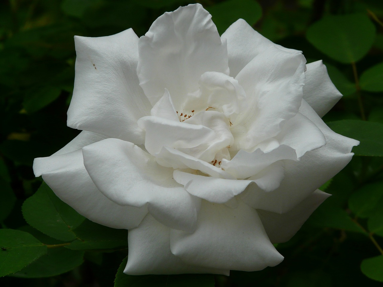 white rose rose rose bloom free photo