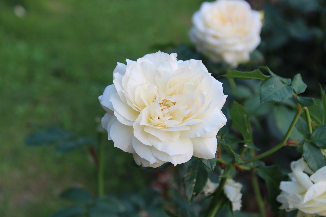 White Roseflowersthe White Roseclustergarden Free Photo From