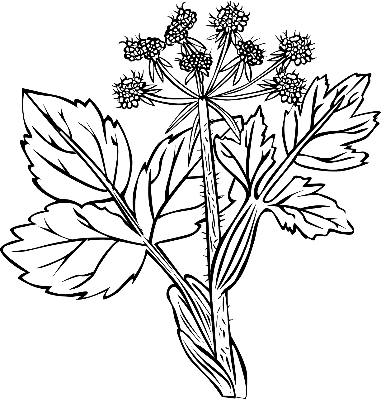 white snakeroot,plant,flowers,black and white,ageratina altissima,richweed,white sanicle,tall boneset,weeds,perennial,herb,poisonous,asteraceae,free vector graphics,free pictures, free photos, free images, royalty free, free illustrations, public domain