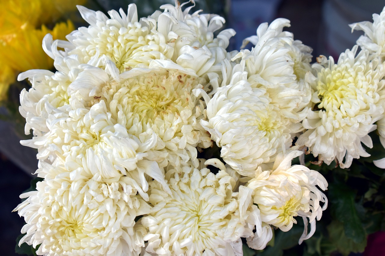 white spider mums chrysanthemum flower white flowers free picture