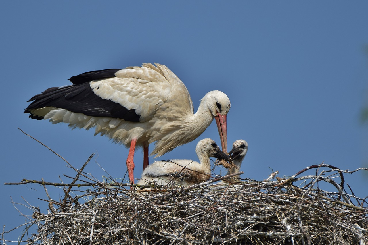 white stork, storchennest, stork young, stork chicks, stork feeding, storks, rattle stork, animal portrait, birds, animal world,free pictures, free photos, free images, royalty free, free illustrations, public domain