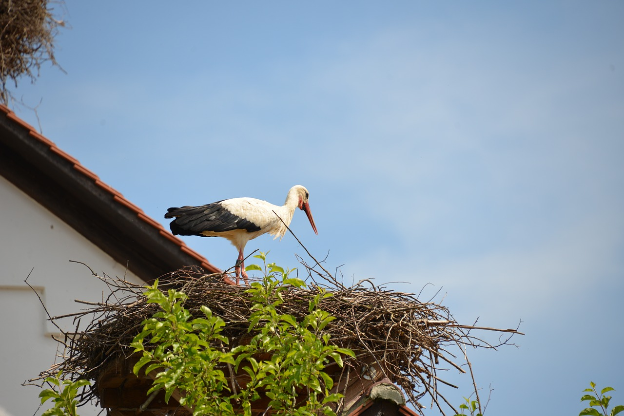white stork,storchennest,stork,nest,bird,animal,rattle stork,nature,sky,blue,summer,roof,idyllic,free pictures, free photos, free images, royalty free, free illustrations, public domain