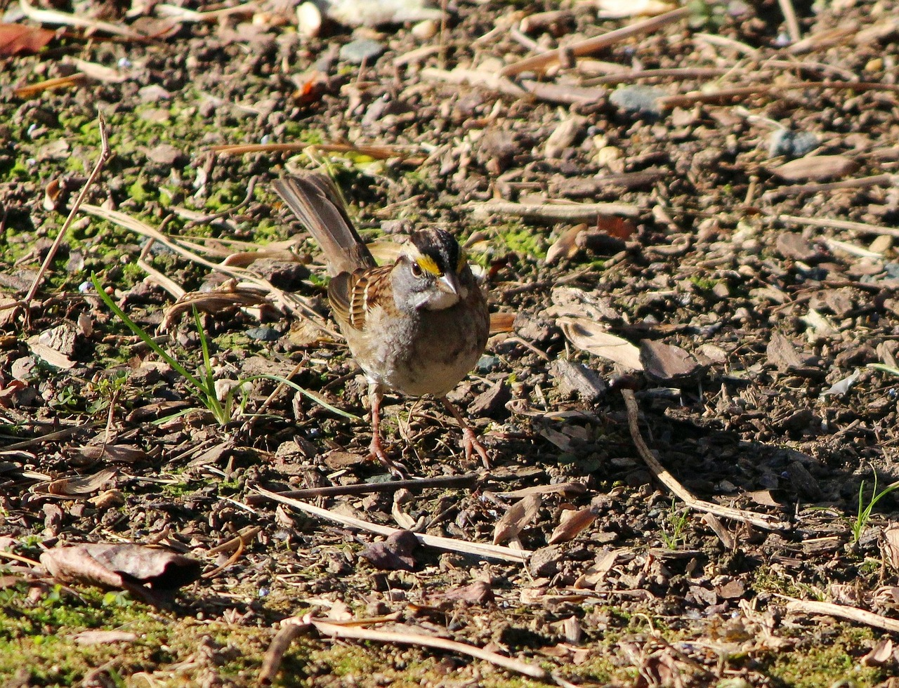 white throated sparrow bird songbird free photo