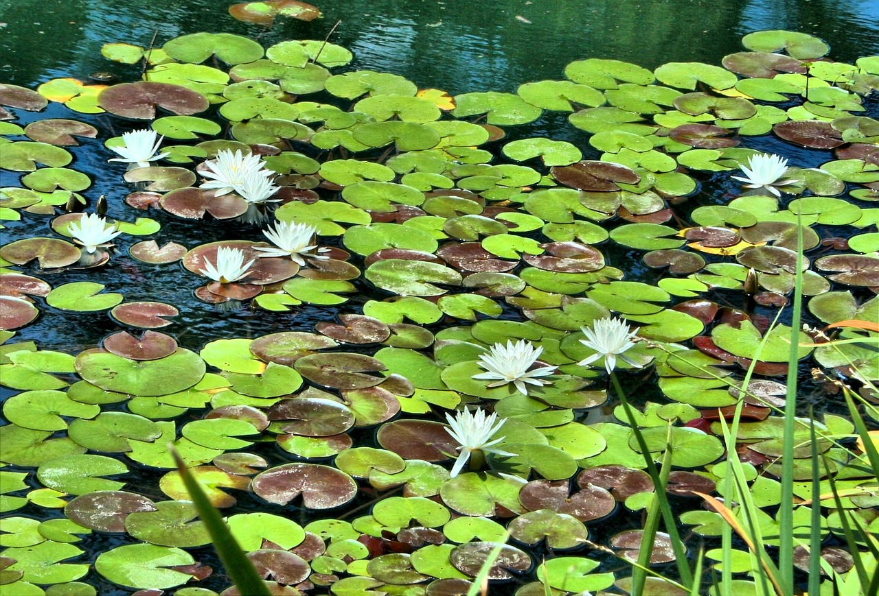 white water lilies pond floating free photo