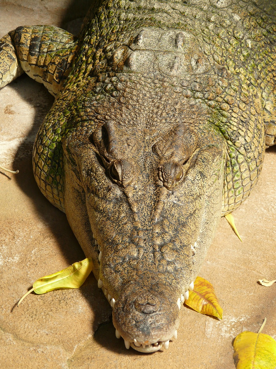 wide muzzles cayman cayman alligator free photo
