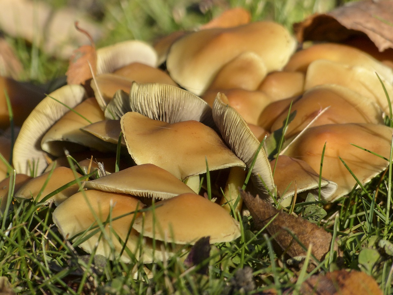 wild mushrooms cluster free photo