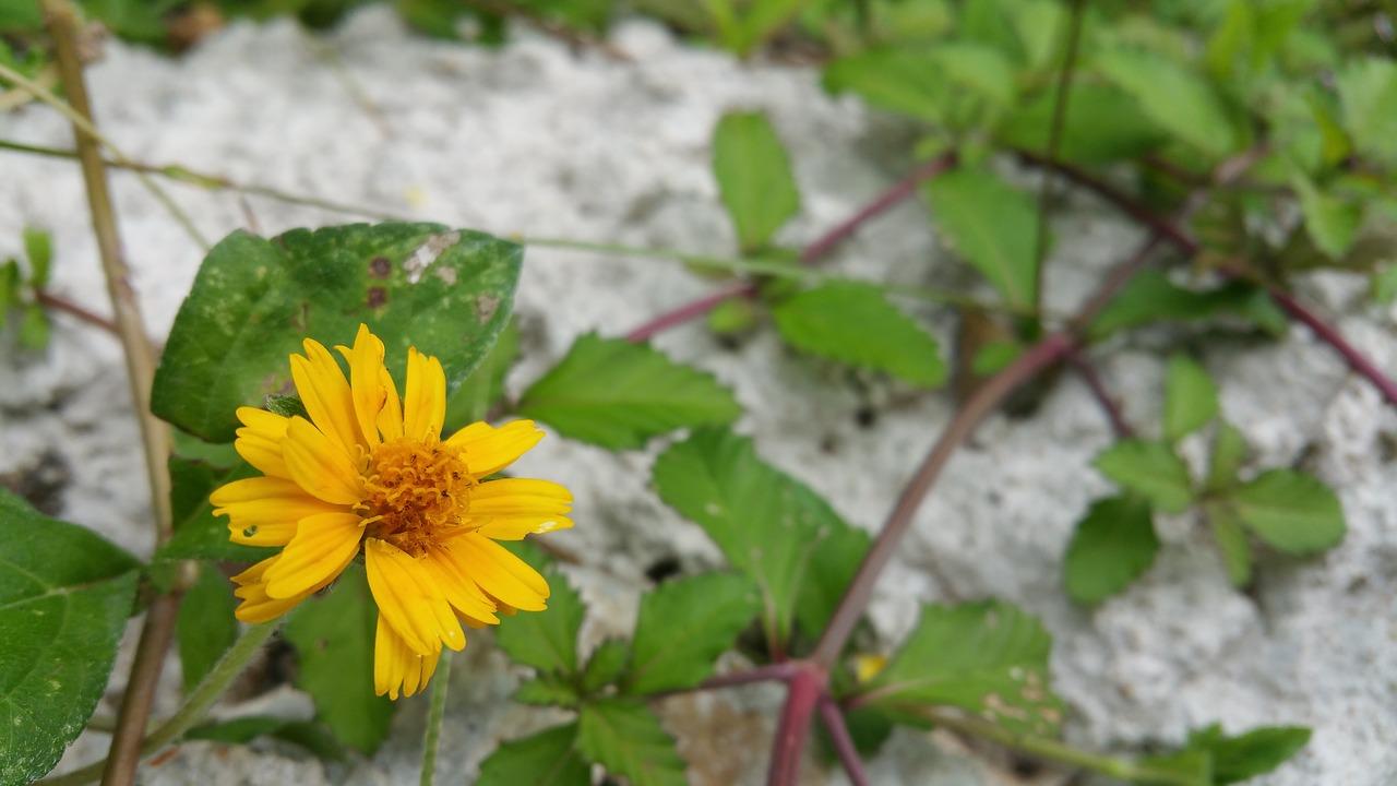 Wild Floweryellow Flowervinesbloomnature Free Photo From