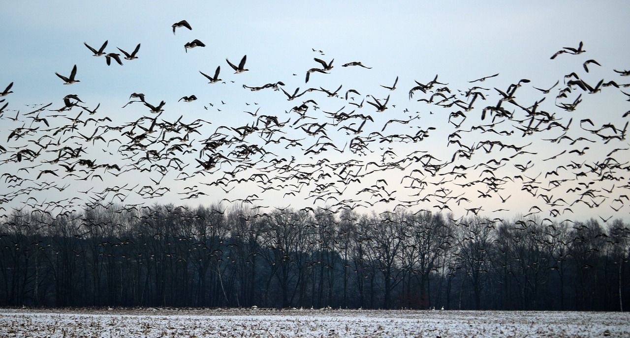 wild geese flock of birds winter free photo