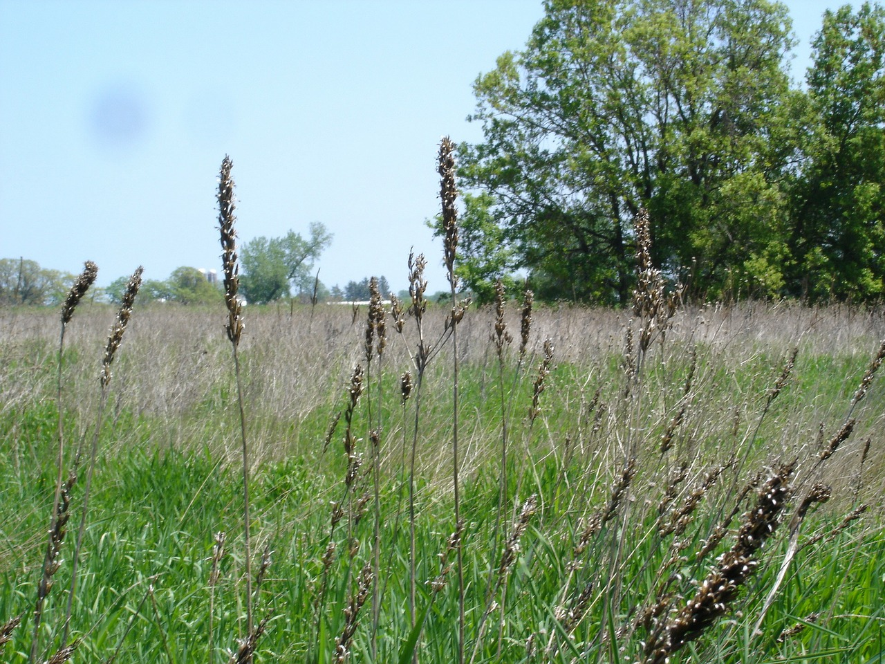 wild grasses prairie open field free photo