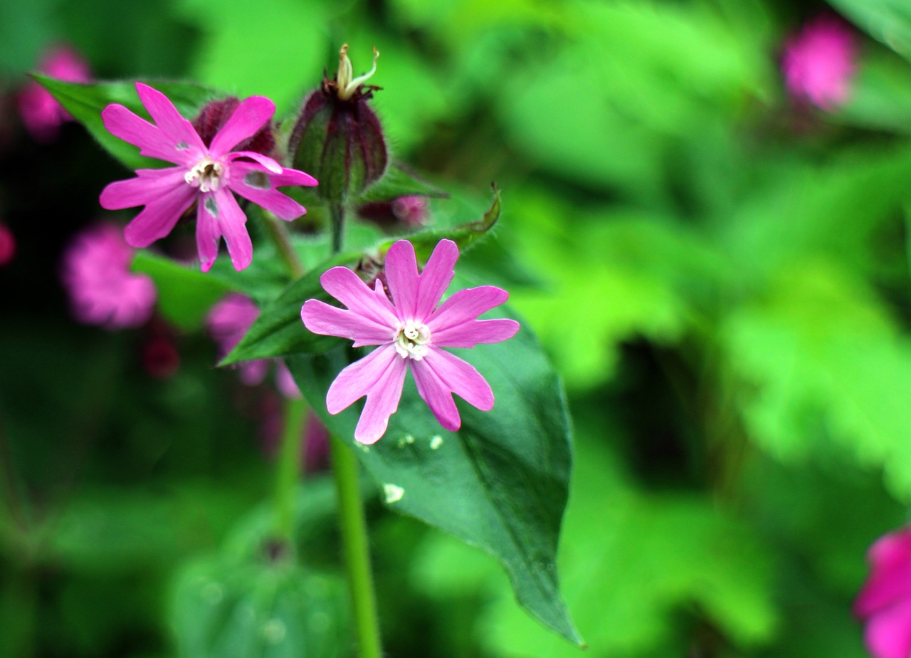 wild plant carnation family red campion free photo