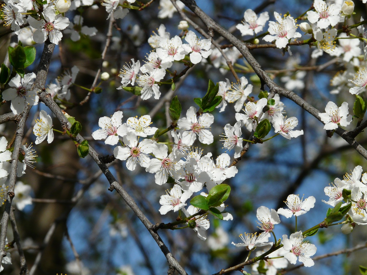 wild plum,blossom,bloom,tree,branch,american wildpflaume,prunus americana,prairie plum,nature,free pictures, free photos, free images, royalty free, free illustrations, public domain