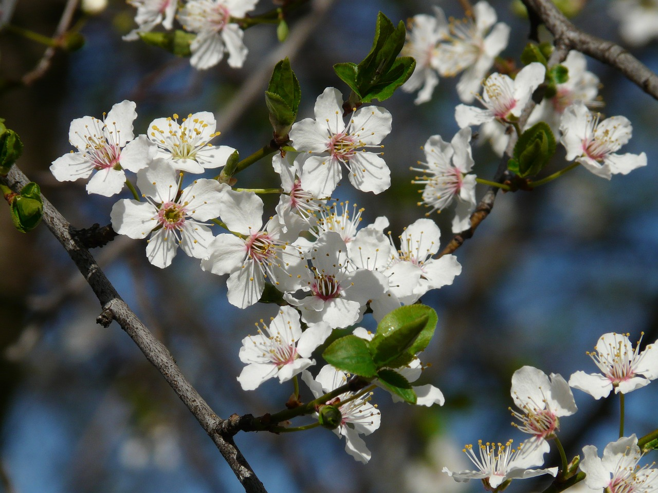 wild plum blossom bloom free photo