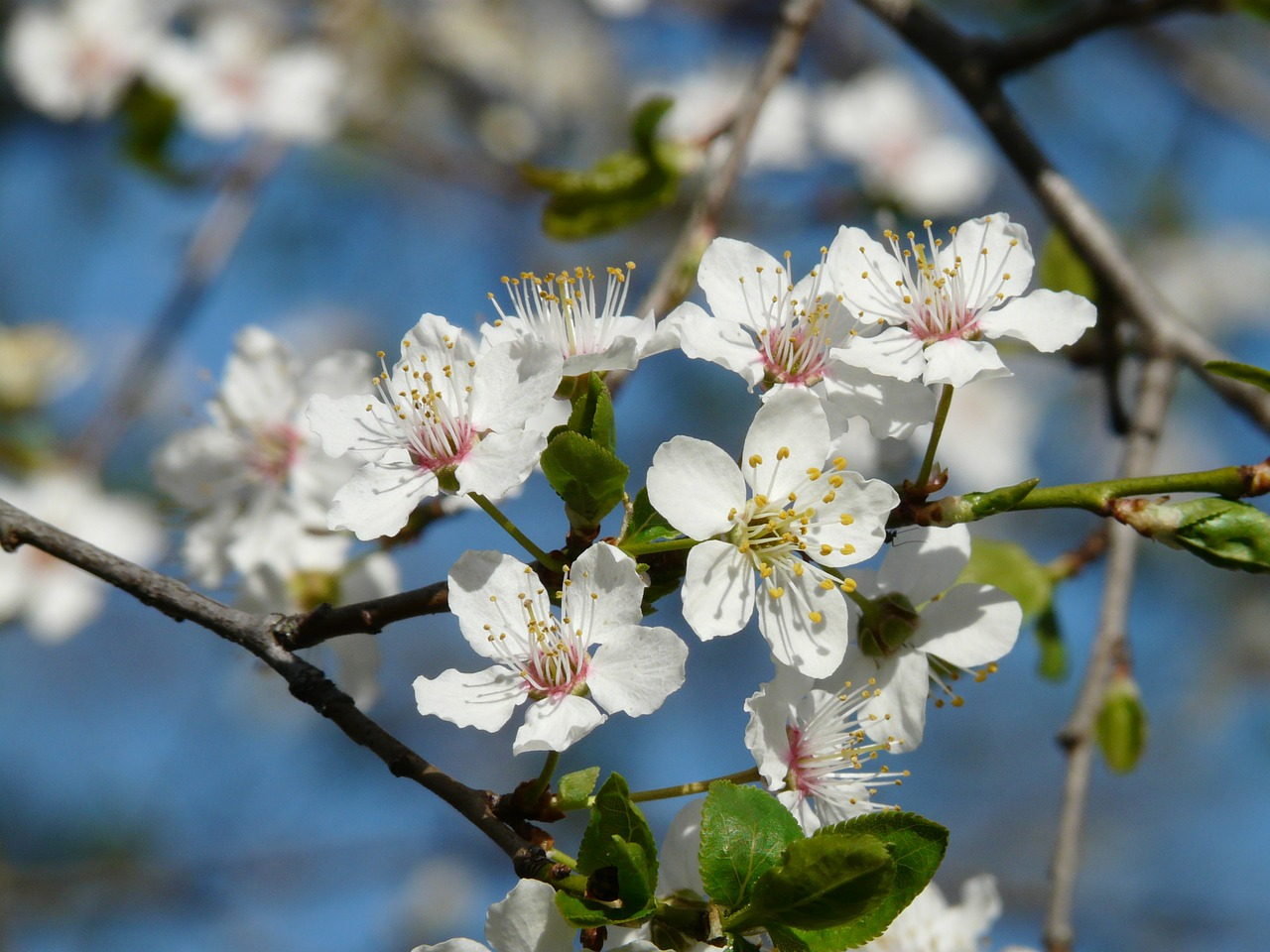 wild plum,blossom,bloom,tree,branch,american wildpflaume,prunus americana,prairie plum,nature,white,beautiful,spring,free pictures, free photos, free images, royalty free, free illustrations, public domain