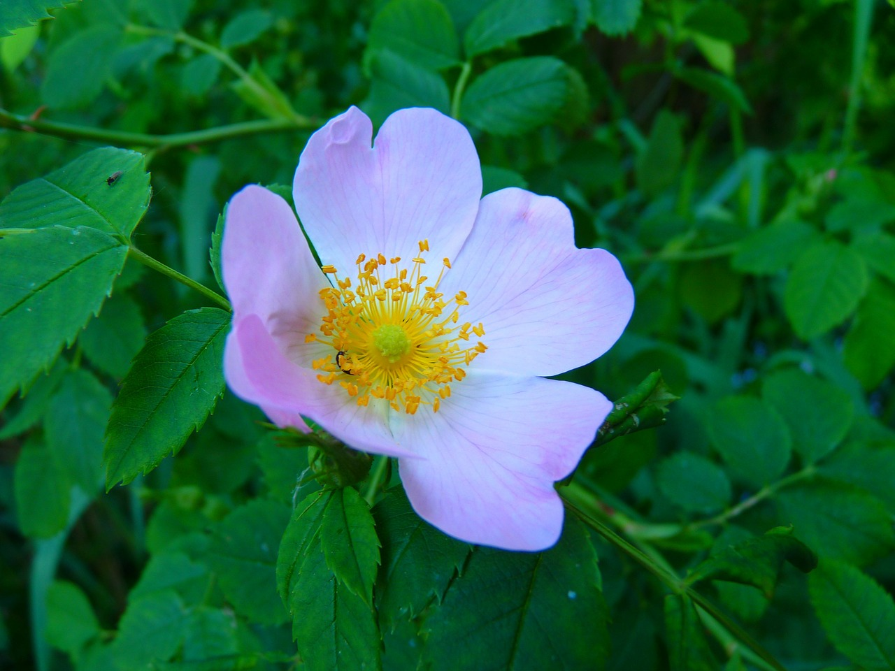 wild rose pink blossom free photo