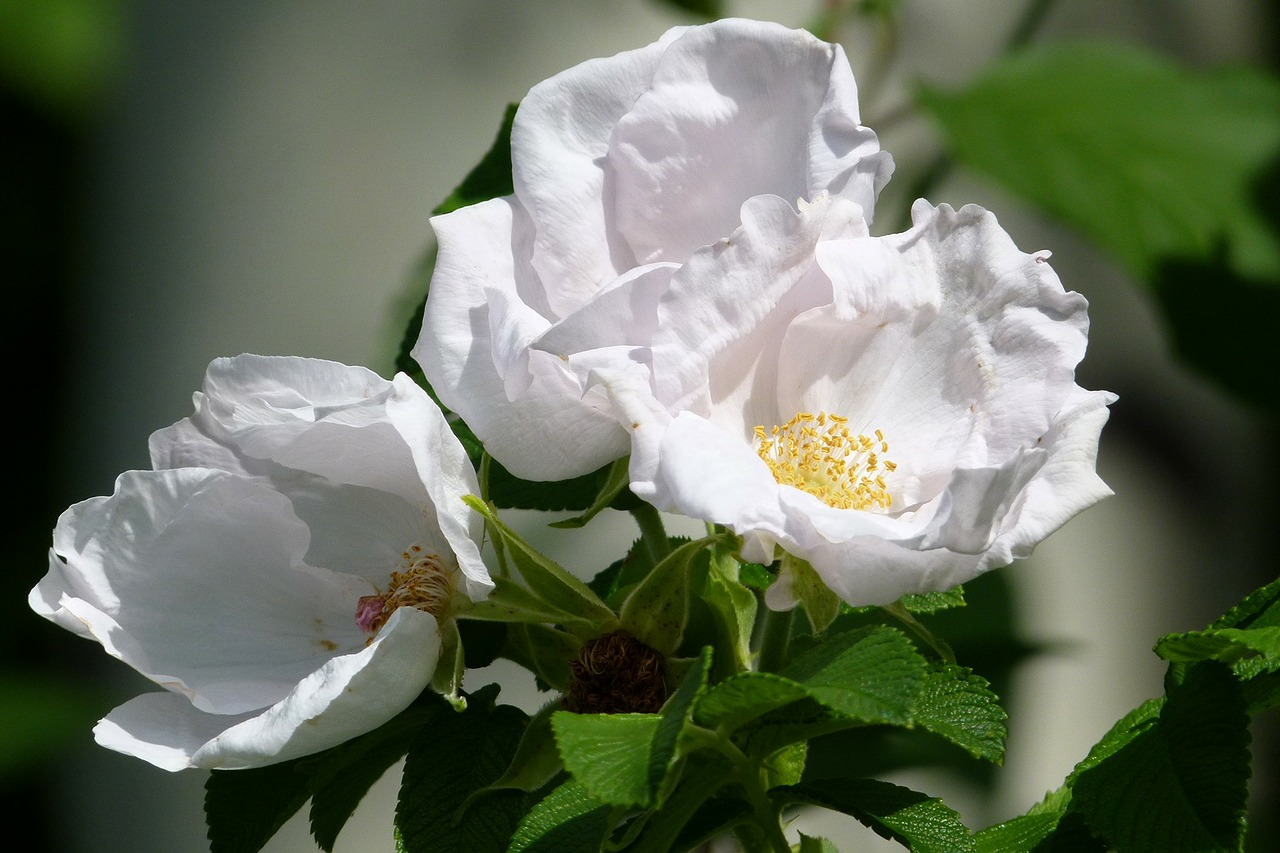 wild roses flower floral free photo