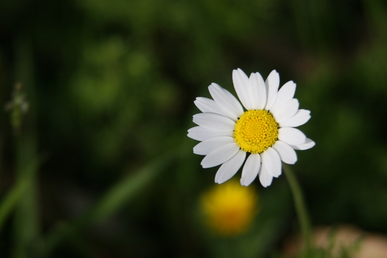 Daisywildflowerwhiteyellownature Free Photo From Needpix