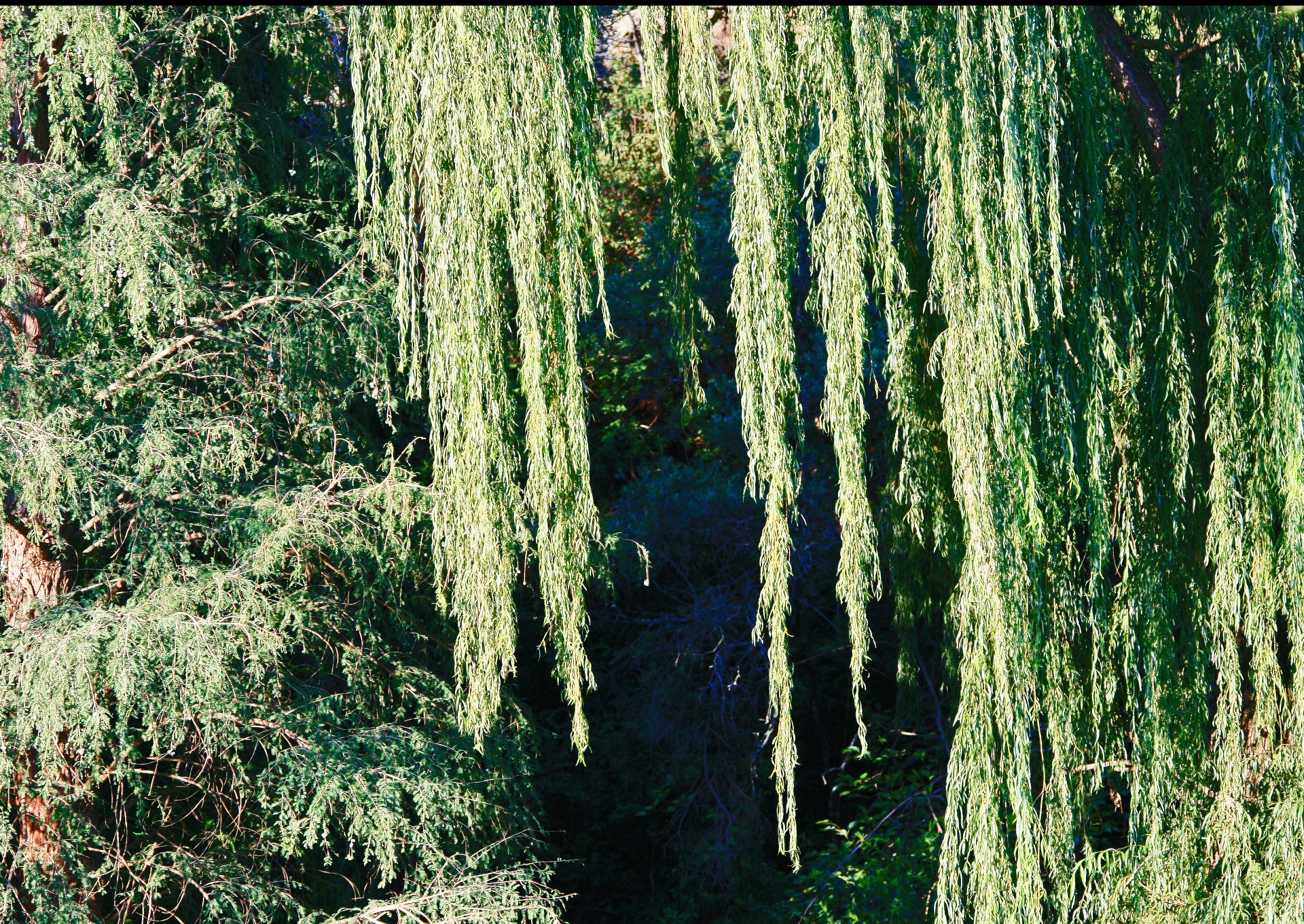 Weeping pussy willow