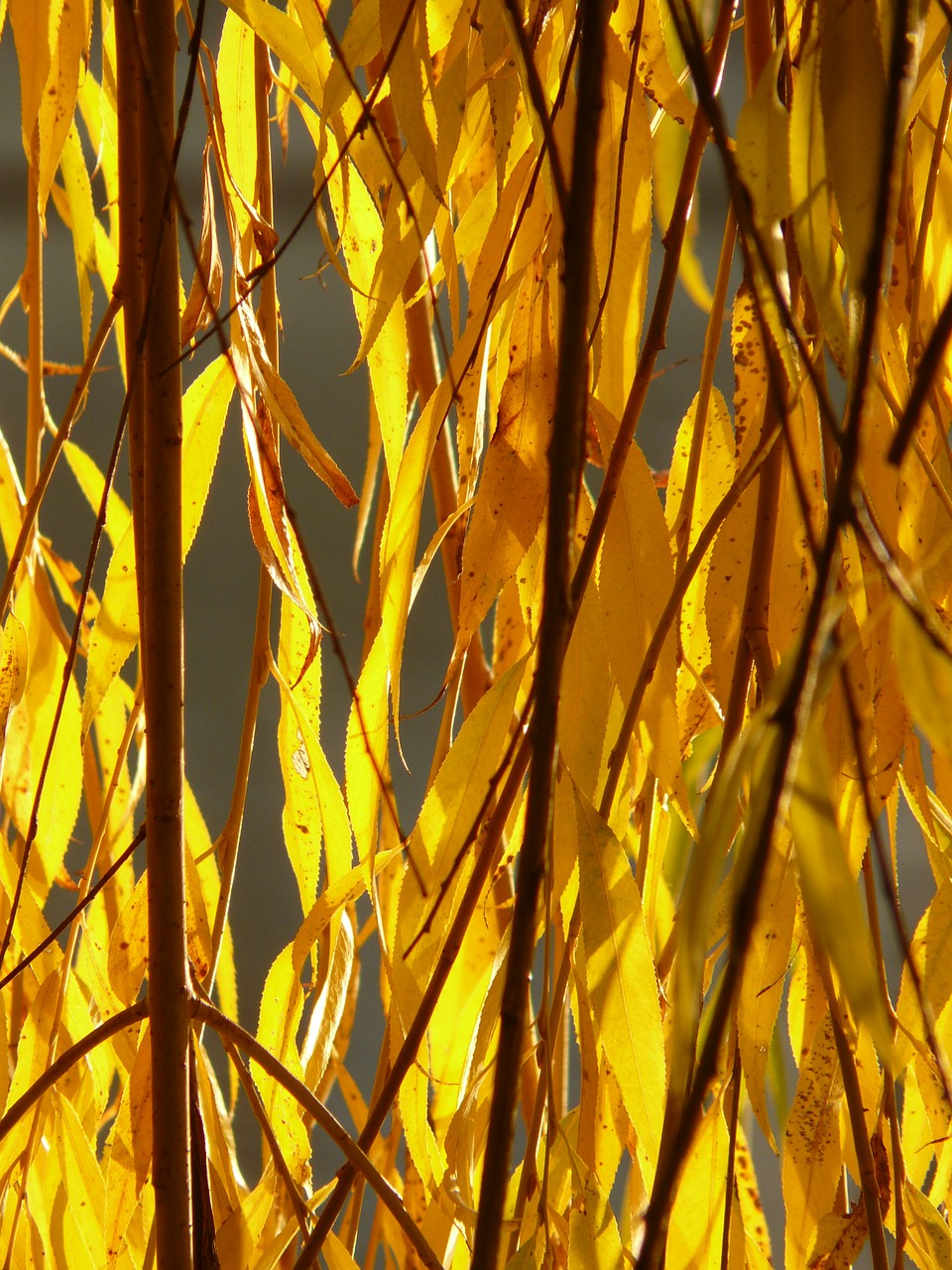 willow leaves leaves silver willow free photo