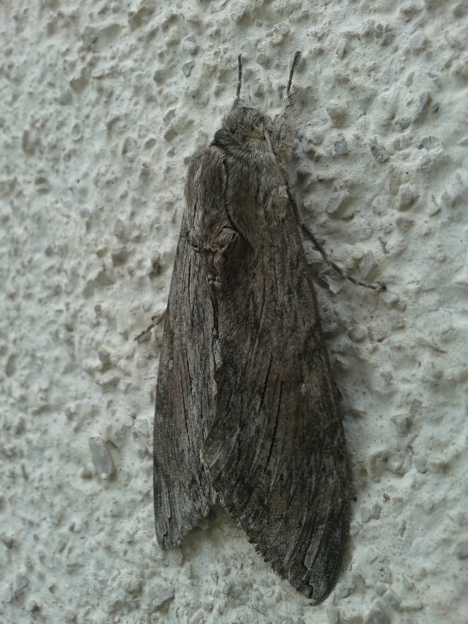 winch hawk moth butterfly insect free photo