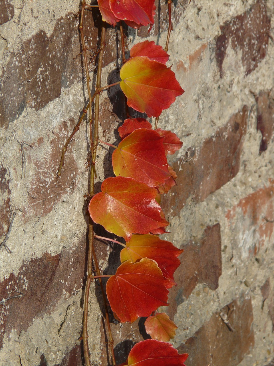 wine partner vine leaves wall free photo