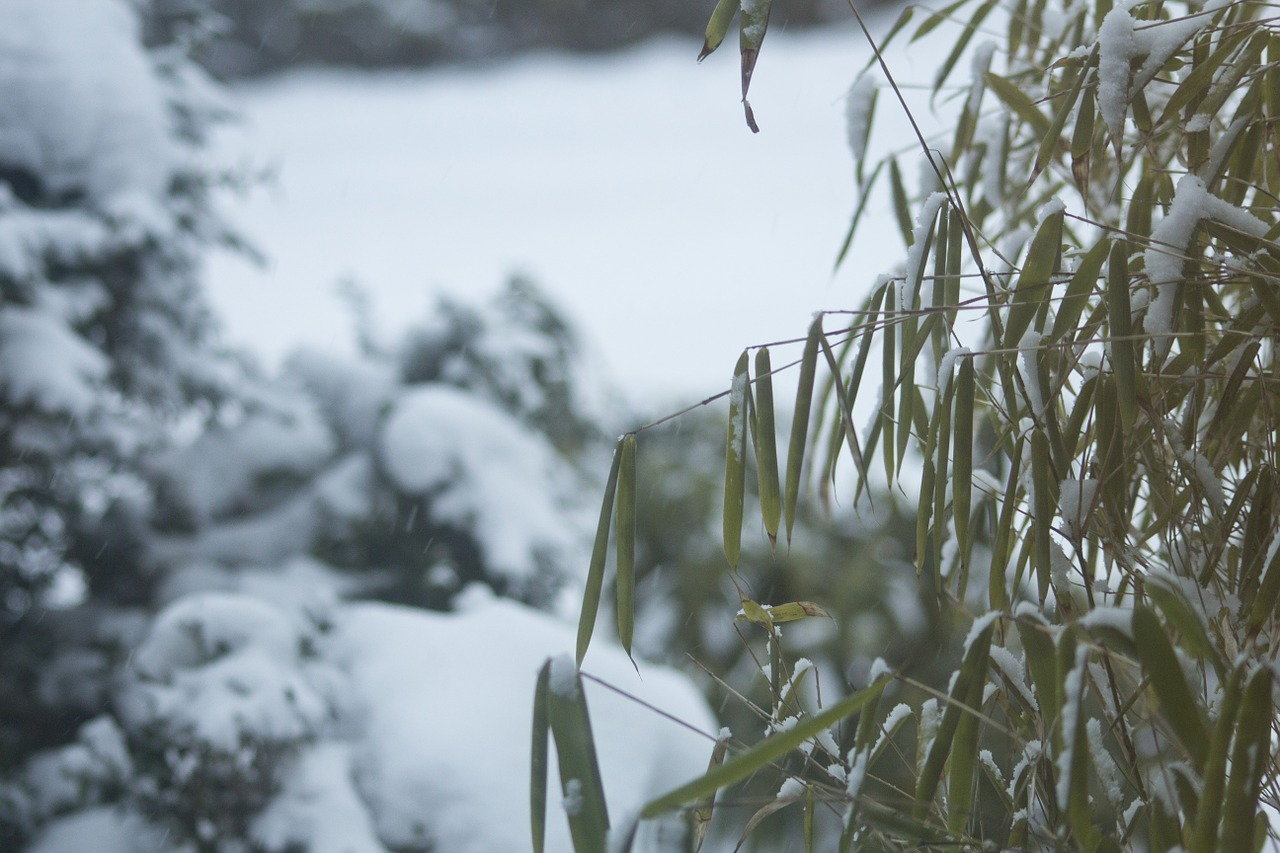 winter snow bamboo in the snow free photo