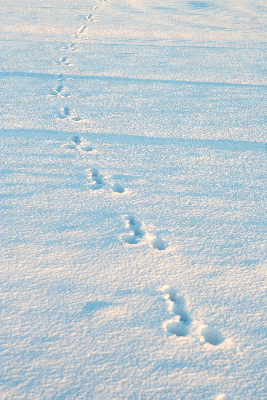 winter snow rabbit tracks free photo