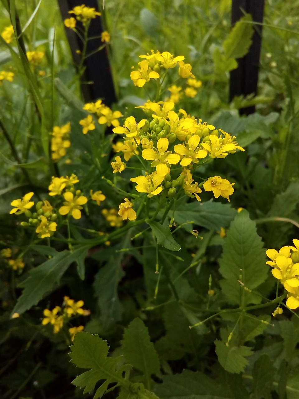 Winter Cressmedicinal Plantyellowfinesummer Flowers Free Photo