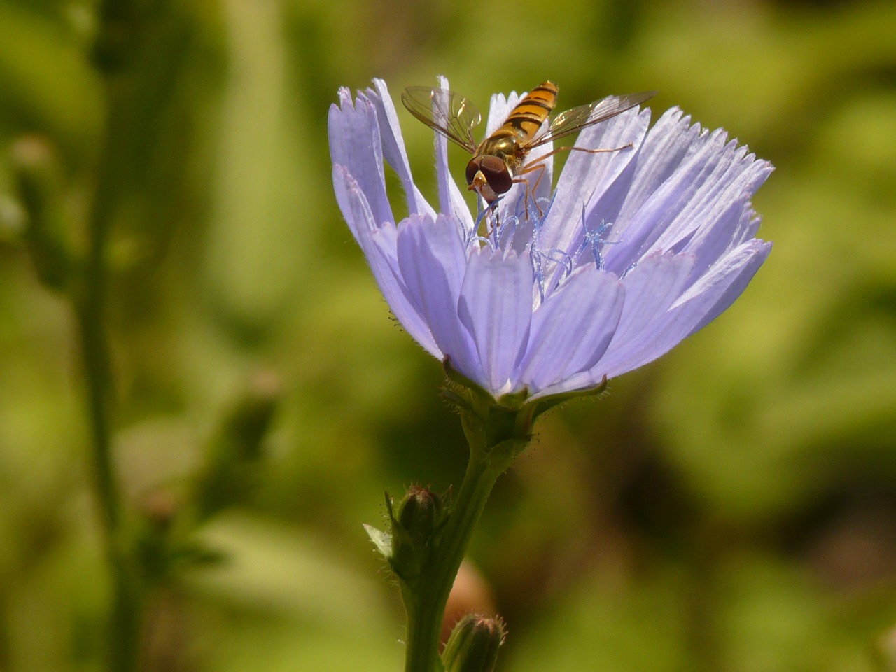 winter florea insect hoverfly free picture