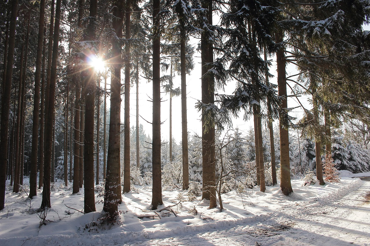 winter sun forest snow free photo